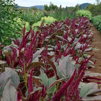 Amaranth, Oeschberg (Organic)