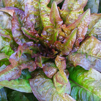 Lettuce, Ear of the Devil (Organic)