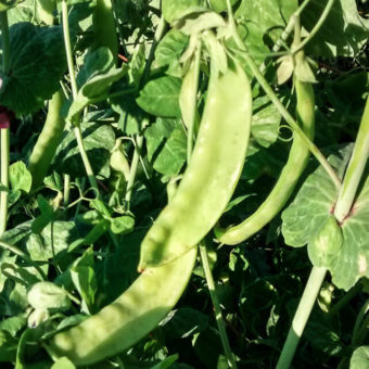 Snow Pea, Green Beauty (Organic)