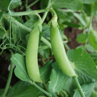 Sugar Snap Pea, Sugaree (Organic)