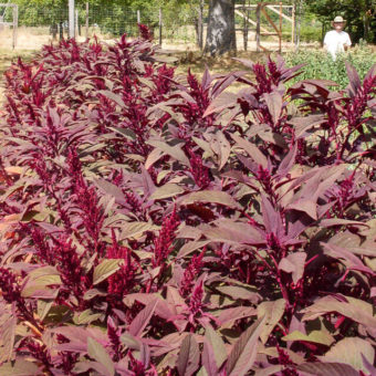 Amaranth, Rodale Red Leaf Grain (Organic)