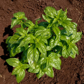 Italian Sweet Mountain Basil