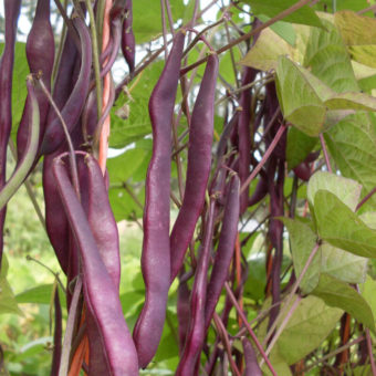 Pole Snap Bean, Kew Blue (Organic)