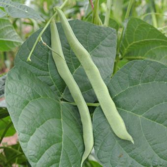 Pole Snap Bean, Withner's White Cornfield (Organic)