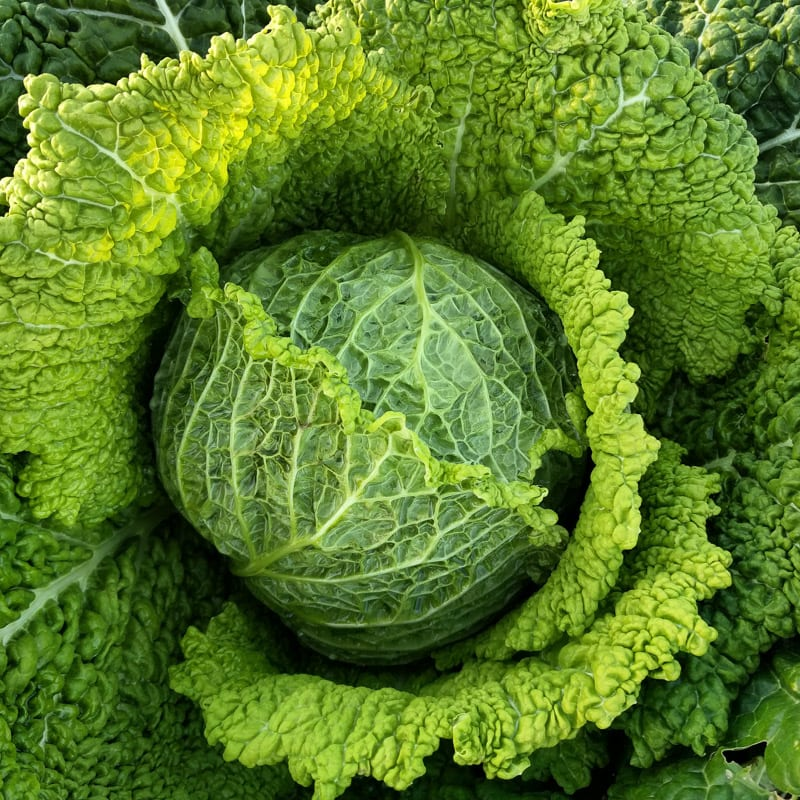 Cabbage Chieftain Savoy Organic Adaptive Seeds