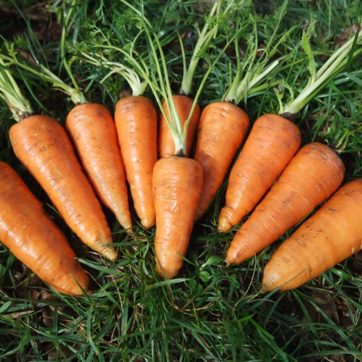 Red Core Chantenay Carrots