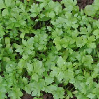 Cress, Greek (Organic)