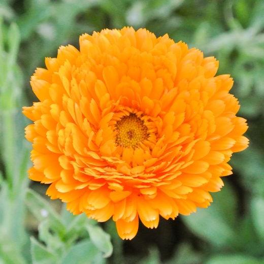 Organic Erferter Calendula Seed