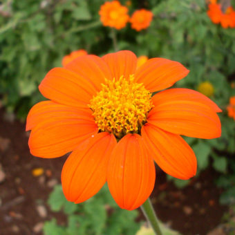 Tithonia Mexican Sunflower
