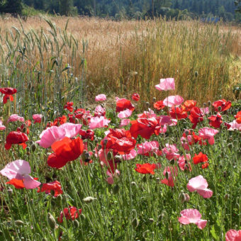 Poppy, Horton Corn Poppy Mix (Organic)