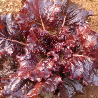 Lettuce, Hyper Red Rumple Waved (Organic)