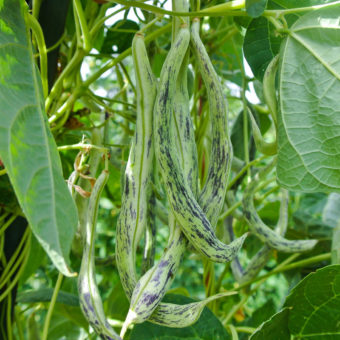 Pole Snap Bean, Oregon Giant (Organic)