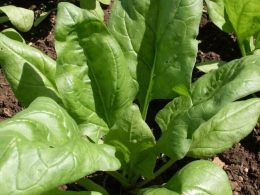 Spinach, Giant Winter (Organic)