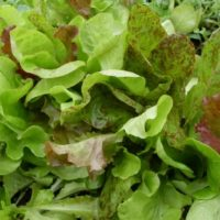 Adaptive Lettuce Mix