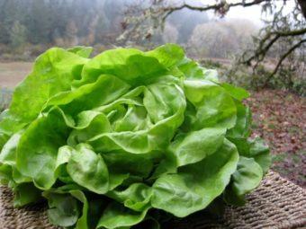 Lettuce, Cindy (Organic)