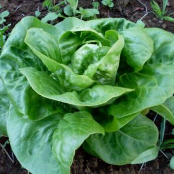 Lettuce, Little Gem Pearl (Organic)