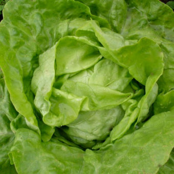 Lettuce, Northern Queen (Organic)