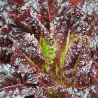 Lettuce, Red Evolution (Organic)