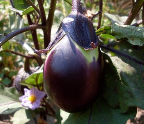 Eggplant, Early Black Egg (Organic)