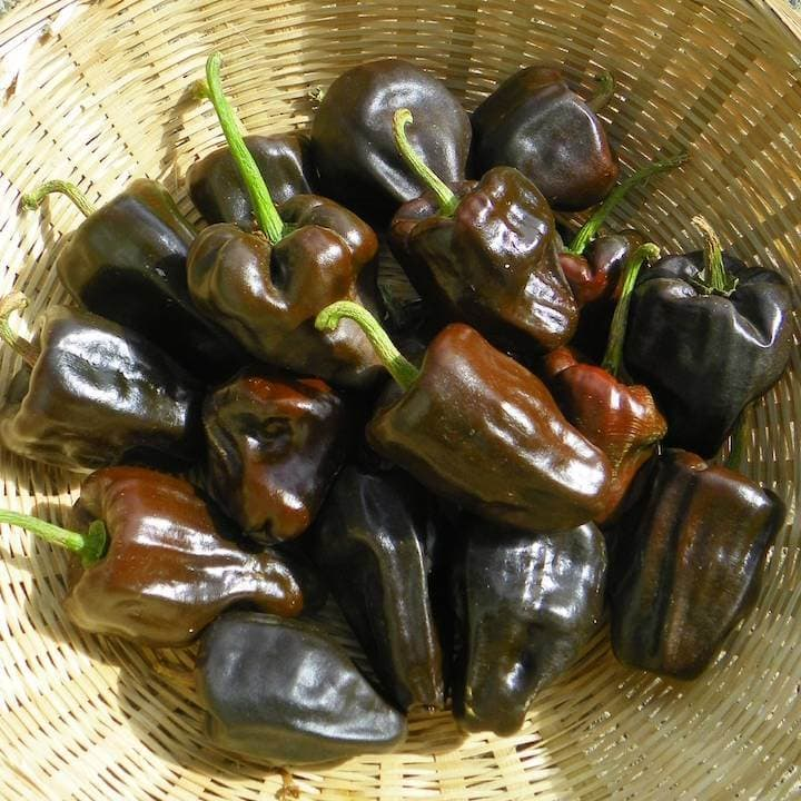 Hot Pepper, Chilhuacle Negro (Organic)