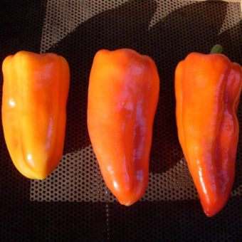 Sweet Pepper, Gypsy Queens (Organic)