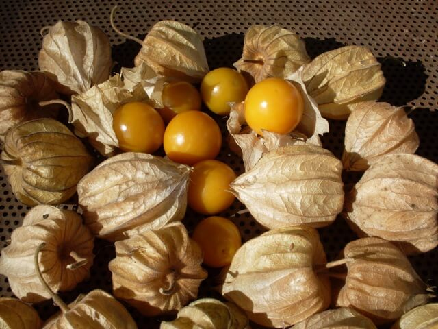 how to tell when ground cherries are ripe