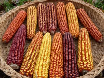 Dent Corn, Open Oak Party Mix