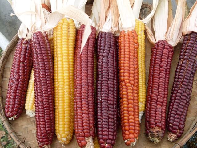 Flint Corn, Cascade Ruby-Gold (Organic)