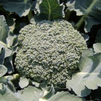 Broccoli, Umpqua