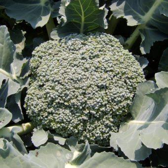 Broccoli, Umpqua