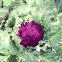 Cauliflower, Purple Cape