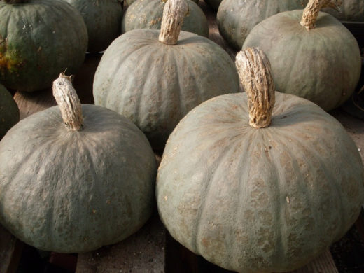 Winter Squash, Blue Kuri