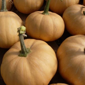 Winter Squash, Doran Round Butternut