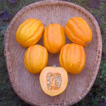 Winter Squash, Gill's Golden Pippin (Organic)