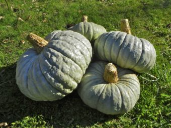 Winter Squash, Piacentina