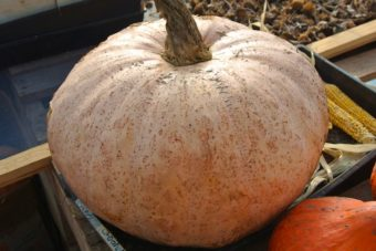 Winter Squash, Theron's Winter Harvest (Organic)