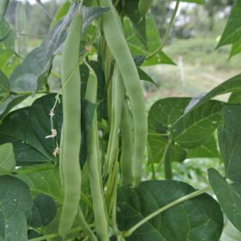 Pole Snap Bean, Early Riser (Organic)