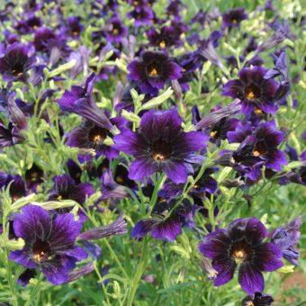 Painted Tongue, Kew Blue (Organic)