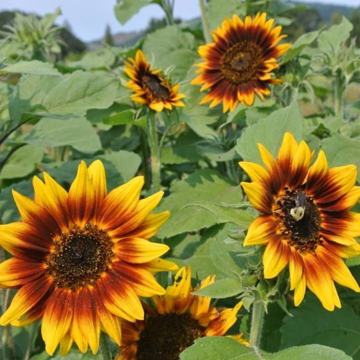 Ring Of Fire Sunflower (Organic)