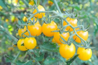 Tomato, Golden Currant (Organic)
