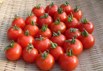 Tomato, Harvest Luck (Organic)