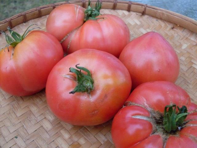 Tomato, Katja