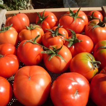Tomato, Sasha's Altai