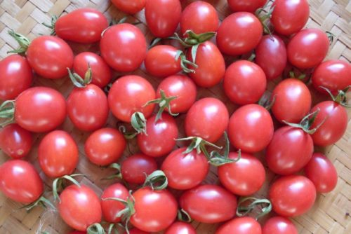 Tomato, Wheatly's Frost Resistant (Organic)
