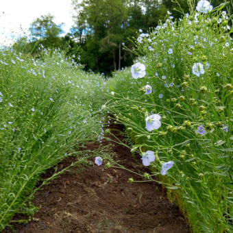 Flax, Sussex (Organic)