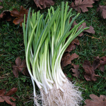 Green Onions, White Spear (Organic)