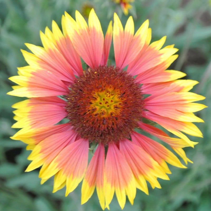 Organic Blanket Flower Seed Adaptive Seeds