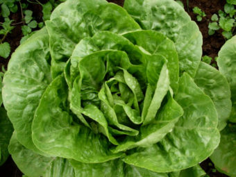 Lettuce, Winter Density