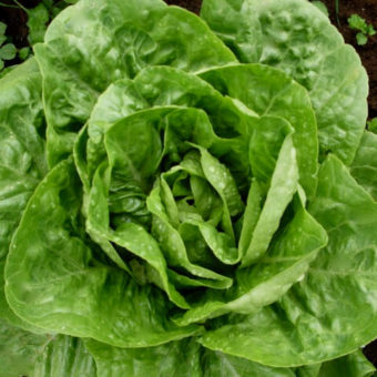 Lettuce, Winter Density (Organic)