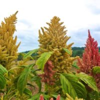 Amaranth, Sunset Goldilocks (Organic)